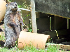 DSC_0201 (rachidH) Tags: rodents marmot groundhog woodchuck marmotamonax marmotte sparta nj rachidh nature