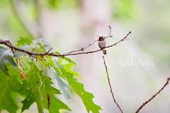 the hummingbird lands (Cristy McAuley) Tags: nature hummingbird landed tree nevercloseenough bird humdinger