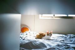 ( ourutopia) Tags: film fuji fujifilm fujicolor 400    yashica t2 t3 t4 t5 cat neko mew meow miao bed room window