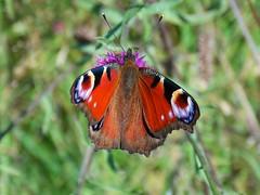 Peacock butterfly - Aglais io - HWW folks! (SAMARA: Drowning in work!) Tags: peacock ww scotland glentrool aglaisio