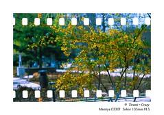 135FILM BY 120 (zhangrq_icbc) Tags: film 120 135 rdpiii c330 flower fuji wide spring
