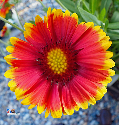 Red-Yellow Flower