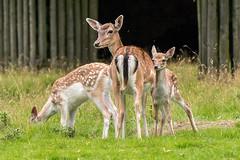 Is she looking at me, Mum? (Maria-H) Tags: bowdon england unitedkingdom gb fallow deer doe fawn damadama dunhammassey deerpark cheshire uk panasonic gh4 dmcgh4 100400