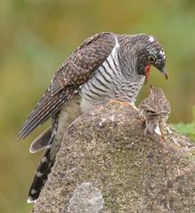 Mammoth task (OWL62) Tags: nikon devon dartmoor cuckoo