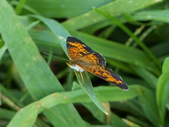 Pearl Crescent (Phyciodes tharos) (Nature In a Snap) Tags: crosswicks creek greenway province line road access plumstead township 2016 nature wildlife pearl crescent phyciodes tharos butterfly butterflier butterflying winged lepidoptera closeup nj new jersey