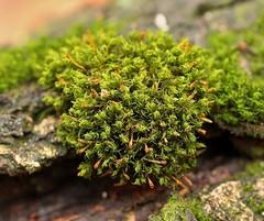 Ulota crispa agg. (2) (pflanzenflsterer) Tags: moos neuenhofe sachsenanhalt akrokarp dofstacking focusstacking epiphyt immergrn germany europa