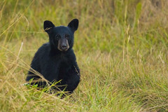 bear6Aug14-16 (divindk) Tags: albeecreekcampground california commonname humboldtredwoods other places scientificname unitedstates ursusamericanus weott bear bearcub blackbear camping cub grass