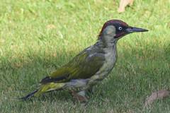 Green Woodpecker (PhilDL) Tags: greenwoodpecker bird birds wildlife uk photography hampshireuk hampshire