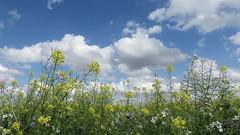 Summer in the Hoeksewaard (daaynos) Tags: summer sky clouds blue yellow landscape flowers hoeksewaard dehoekschewaard rape rapeseed koolzaad