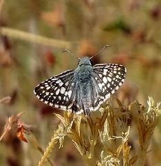 Common Checkered Skipper--Pyrgus communis (Polioptila caerulea) Tags: commoncheckeredskipper skipper pyrguscommunis pyrgus blackswantrail california nevadacounty