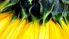 Sunflower macro (hz536n/George Thomas) Tags: 2016 cs5 canon canon5d ef100mmf28lmacroisusm flora michigan summer copyright flower macro sunflower upnorth yellow nik helianthus