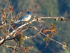 Fall Bluejay (piranhabros) Tags: lichen bluejay bird animal tree fall branch azalea