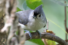 Tufted Titmouse at Ashland Nature Center-3 (Scott Alan McClurg) Tags: animal ashland ashlandnaturecenter bird bokeh center forest life nature naturephotography perch perching smallbirds songbird spring suburbs titmouse tree tufted tuftedtitmouse wild wildlife woods yard