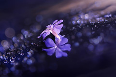 A very little and delicate flower (Marilena Fattore) Tags: macro artistic canon tamron colors water drops fantasy nature closeup reflection bokeh light blue purple flower brilliance sparkle 90mm