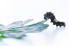 Minimal Muncher (Explored - Sept. 13, 2016 #28) (marionchantal) Tags: explore explored macro 850mm nikond7200 macromondays muncher model minimal parsley caterpillar firstletterofmyname m highkey whitebackground hmm munching