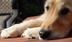 Sunny 37/52 (Lianne (calobs)) Tags: sunny 52 weeks for dogs golden retriever