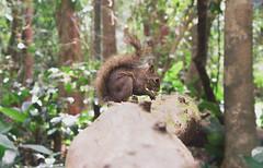 Natureza paulista. (CAIO_SOUZ4) Tags: esquilo canon 600d t3i natureza nature squirrel ao ar livre