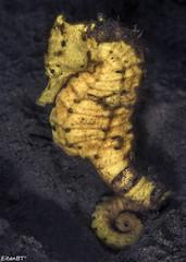 Seahorse - Philippines 05-2016 (Eitan Ben Tsvi) Tags: philippines anilao dumaguete underwaterphotography diving nature macro sonya6000 sonya6300 sonya6500 underwater water fish ocean sea scuba animal wildlife aquarium animals blue jellyfish shark coral adventure travel beach easydiveleo3wi sony90mm 60mm nudibranch frogfish seahorse seaturtle nationalgeographics shrimps crabs