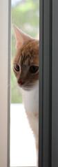 Deep Thoughts (andymiccone) Tags: cat katze katt kissa feline chat gato grey gray animal beautiful cute pet domestic salvia kitten