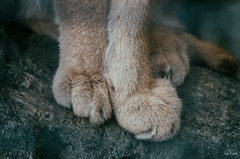 Caracal feet. (carolinezy) Tags: feet caracal woestijnlynx cat feline paws toes