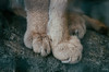 Caracal feet. (carolinezy) Tags: feet caracal woestijnlynx cat feline paws toes