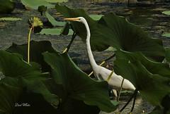 egret in the lotus (don.white55 Thanks a million..) Tags: greategretardeaalba wildwoodlake wildwoodpark donwhite donpwhitephotography thatswildnaturephotography canone0s7od canoneos70dtamronsp150600mmf563divcusda011 tamronsp150600mmf563divcusda011 tamron150600mm animal aquaticplant aquaticbird bird birdwatching bigbeak bigbird beak dauphincounty eye egret feathers harrisburgpennsylvania habitat harrisburgwildlife lake lushgreenery landscape marsh nature naturecanon outdoors ornithology pennsylvaniawildlife pond pennsylvania pennsylvanialakes leaf leaves swamp scenic shorebird shorebirds serene wildlife waterfowl wadingbirds aquaticplantlotusnelumbo lotusplant