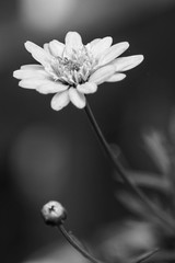 Reach out (marktmcn) Tags: flower head bud petals blooming flowering budding blackandwhite monochrome d610 nikkor 28300mm rising stretching reaching out
