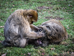 Monkey business (Justgetdancey) Tags: monkeys barbarymacaque macaque primate ape grooming animal couple animalplanet