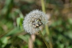 (careth@2012) Tags: dandelion nature