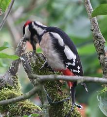 Woodpecker 4 (ahisgett) Tags: greater spotted woodpecker dendrocopus major