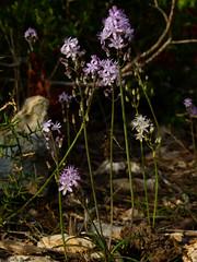 Autumn flowers (Geminiature Nature+Landscape Photography Mallorca) Tags: autumn herfst otoo tador mallorca flores flore flowers bloemen wilde nature wild salvaje pink roze rosa small little tiny