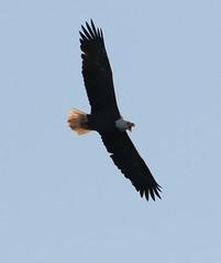A South River Bald Eagle (rivadock4) Tags: american bald eagle beards creek south river annapolis americanbaldeagle beardscreek southriver