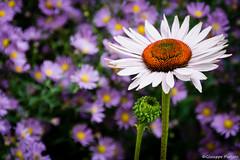 Daisy (makizekai16) Tags: daisy margherita fiori flowers torino piemonte colori natura nature greatshots greatshotss
