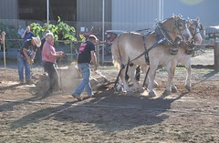 2016 Durham CT Fair (caboose_rodeo) Tags: 10013 contest drafthorsepulling drafthorse belgians dust backlit