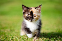 'Eadie' (Jonathan Casey) Tags: kitten venus catchums chums norfolk uk rescue nikon d810 105mm f28 wow