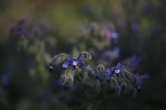 Portrait of Borage (K M V) Tags: borage borageflower kurkkuyrtti borretsch starflower boragoofficinalis bourrache borragine rohtopurasruoho purasruoho shallowdof