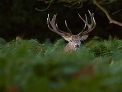 Red-Deer-4183 (Kulama) Tags: reddeer deer stag rutting animals autumn autumncolours nature wildlife woods bracken fern canon7d sigma150600c563