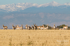 All Pronghorn eyes on the photographer