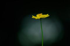 Cosmos (Hideo N) Tags: cosmos nature  helios40 fantasticflower