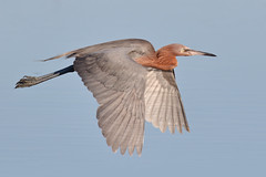 Reddish Egret (bmse) Tags: reddishegret canon 7d2 400mm f56 l bmse salah baazizi wingsinmotion flying flight wings
