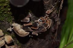 DSC_2627 (Luciano Felipe) Tags: fungo cogumelo fungus mushroom