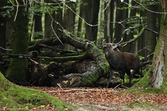 in the forest (Hugo von Schreck) Tags: hugovonschreck outdoor forest deer hirsch natur animal canoneos5dsr germany europe tamron28300mmf3563divcpzda010 onlythebestofnature fantasticnature