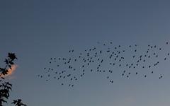 Starlings at dusk (Sculptor Lil) Tags: birds canon700d dslrsingleexposure london clouds dusk murmuration sky starlings sunset weather