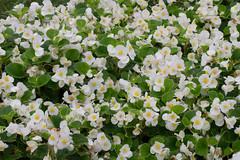 White and Yellow (nak.viognier) Tags: ryokuchipark osaka  olympusepl3 mzuikodigitaled60mmf28macro