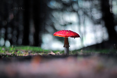 * There will be blood * (-ABLOK-) Tags: 50mm nikkor 50 nature bokeh tree trees forest fort automne autumn champi champignon france auvergne couleur mushroom mushrooms fungi light lumire cueillette amanite tuemouche red bois sousbois macro
