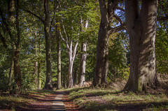 Doxford Park's 'Wheelbarrow Walk' (DM Allan) Tags: doxfordpark sunderland wearside autumn doxford estate beech trees wheelbarrowwalk secretgarden silksworth woodland