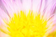 Too Beautiful to Name (Thomas Hawk) Tags: america houston mercerbotanicgardens nymphaeaceae texas usa unitedstates unitedstatesofamerica waterlillies flower waterlily fav10