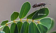 Aim High (haidarism (Ahmed Alhaidari)) Tags: insect bug animal beetle outdoor nature bokeh depthoffield sonya65 macro macrophotography leaf plant ngc