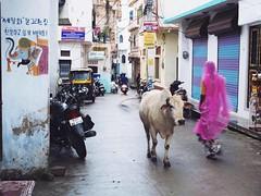 (Missingastranger) Tags: india street streetlife life woman sari colors pink cow holy udaipur rajasthan hindu hinduism