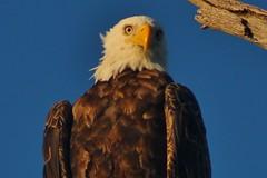 I'm watching you (gsebenste) Tags: eagle goldenhour lakeshabbona shabbona illinois